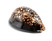 Set of 25 Tiger Cowrie Shells / Place Card Holders